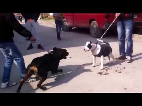 Dog Attack Rottweiler Vs Pitbull Rottweiler Bites Off Idiots