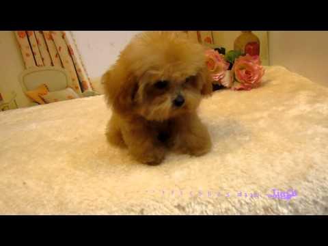 Big Teacup Poodle 003 Singapore Pocket Poodle Super Tiny